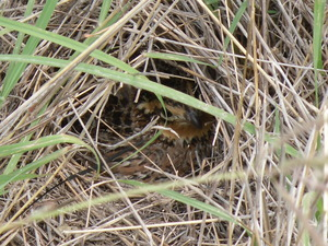 Quail_Nest_June_2011